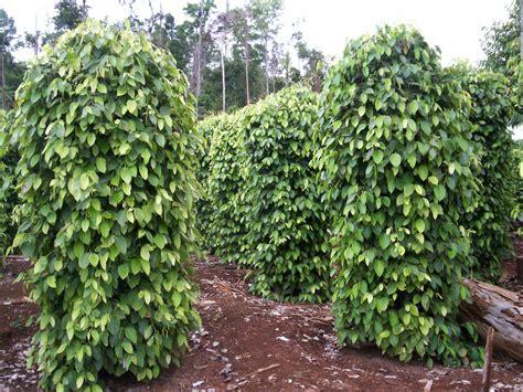 cara menanam lada agar berbuah maksimal dan menghasilkan