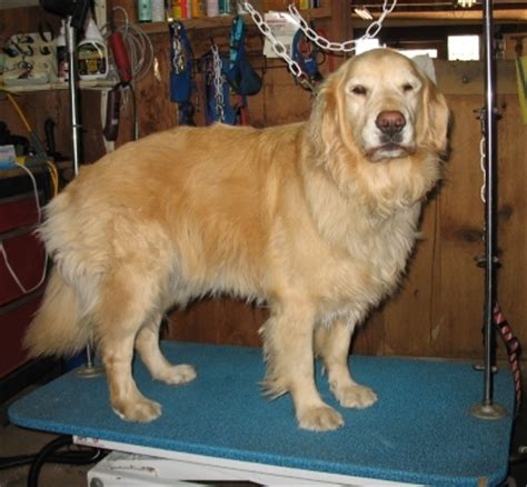 golden retriever grooming cost golden retriever grooming feathers dogs in our photo