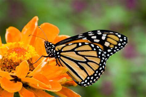 fiori zinnie significato dei fiori la zinnia pollicegreen