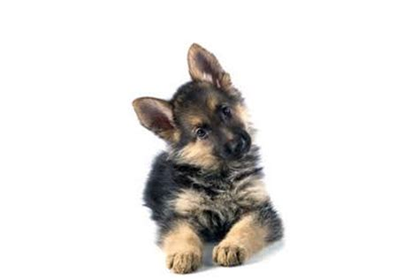 craigslist german shepherd puppies for sale hair kittens for sale in westchester westchester puppies breeds picture