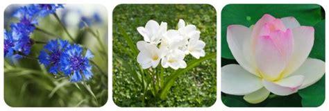 significato fior di loto significato dei fiori mamma felice