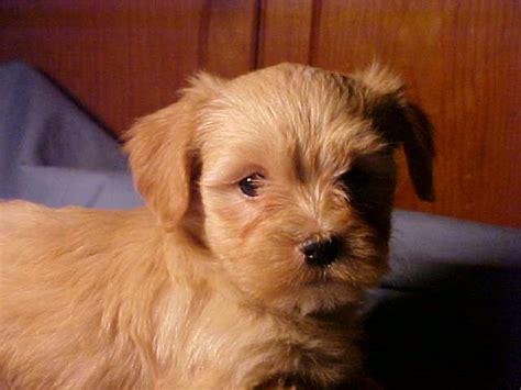 havanese puppies los angeles havanese puppies in los angeles havanese puppies havanese breeders in los angeles