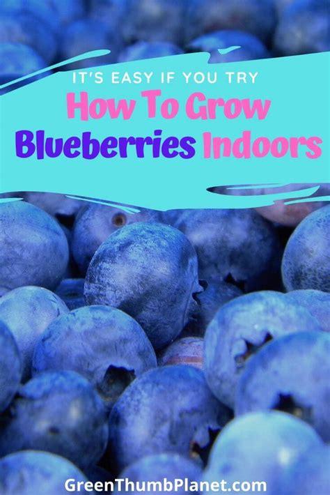 easily grow blueberries indoors