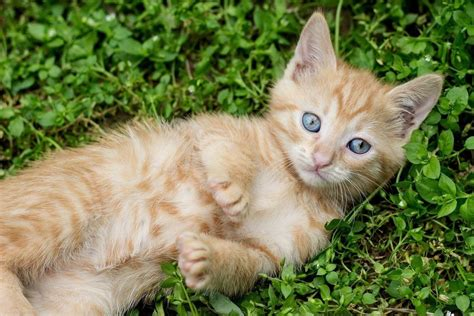 small breeds list the smallest cats in the world www pixshark images galleries with a bite