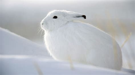 snow bunny wallpaper high definition high quality