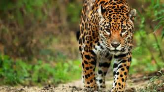 What Country Are Jaguars From Luxury Brazil Safari Holidays World Safaris