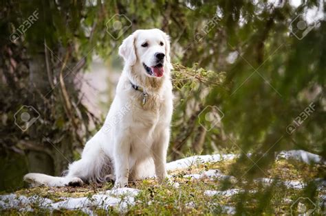 snow white golden retriever 50 most stunning white golden retriever photos and images