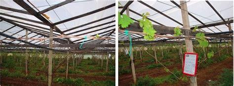 potatura uva da tavola bluprins per l interruzione della dormienza su ciliegio