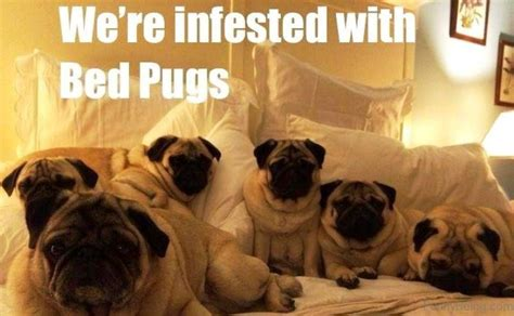 what does the pug say 88 superb pug memes pictures