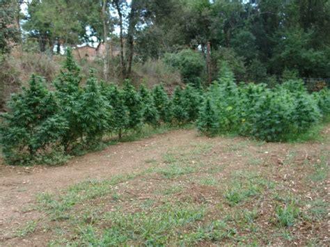 le pour culture de cannabis la culture de cannabis en pleine terre du growshop alchimia
