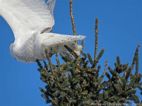 Birds Of The World 365 Days owl poopers 3 species 365 days of birds