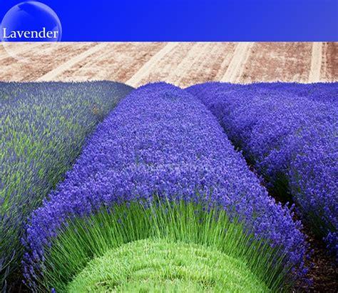 1 Pack Benih Lavender Seed heirloom blue lavender perennial flowers seeds 100 seeds pack perennial seeds