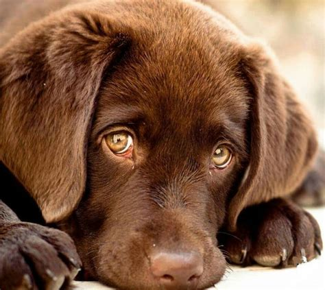 chocolate lab puppies near me the 25 best brown labrador ideas on chocolate labrador puppies chocolate
