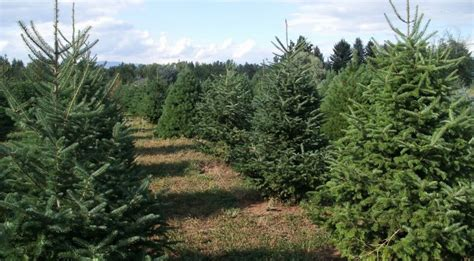 montana fir christmas tree tree farms skiing and festive snowshoeing in montana snowshoe magazine