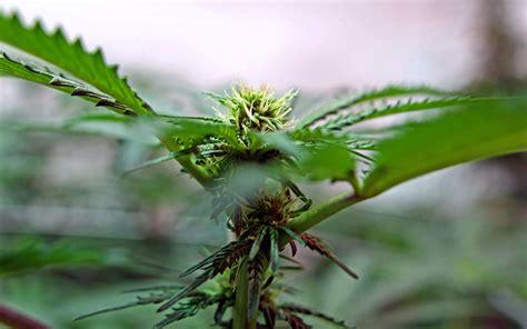 not in my backyard gmo cannabis not in my backyard 183 high times
