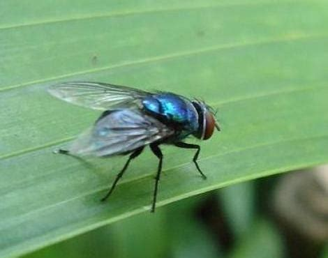 picture 2 of 4 fly (diptera) pictures & images animals
