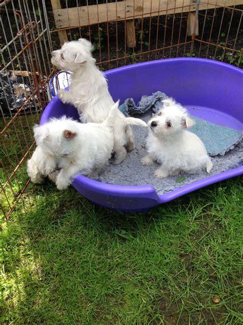 westie puppies for sale in westie puppies for sale epsom surrey pets4homes