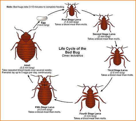 how big can bed bugs get what size or how big are bed bugs bed bug faq