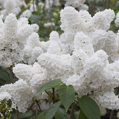 lilac tree information 25 best ideas about japanese lilac on pinterest small