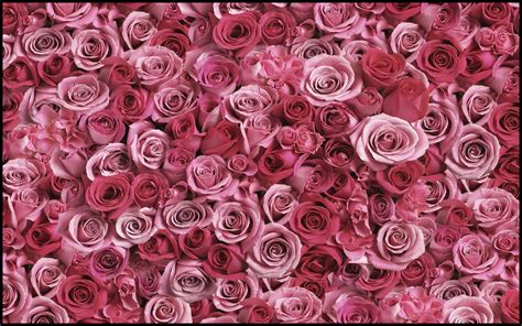pink rose background wallpapertag