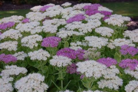 Fast Growing Flowering Shrubs Uk - sedum spectabile stardust landscape architect s pages