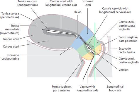 cervix diagram cervix uterus diagram iud uterus diagram elsavadorla