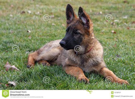 free german shepherd puppies free german shepherd puppies breeds picture