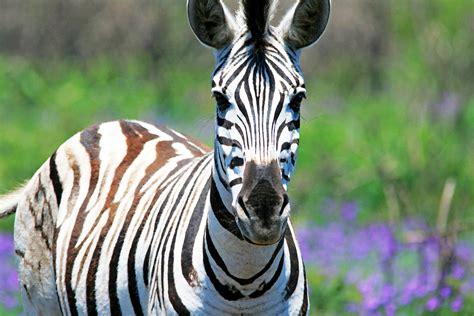 Zebra Free Search Zebra Www Imgkid The Image Kid Has It