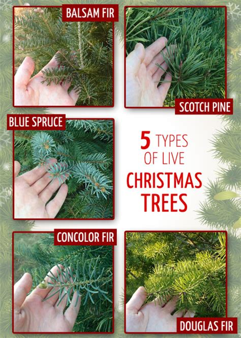 types of live christmas trees babytalk bungalow