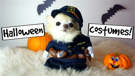 cute puppy sized chihuahua funny halloween photoshoot