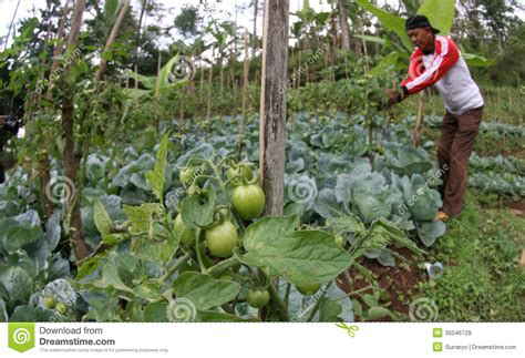 Patio Tomato Plant Care by Cabbage Editorial Stock Photo Image 35046728
