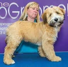 hair cuts for the tebelan terrier tibetan terrier puppy cut www pixshark com images