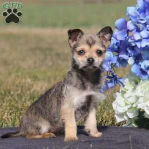 puppies for sale in nj 300 chihuahua puppies for sale in de md ny nj philly dc and baltimore breeds picture