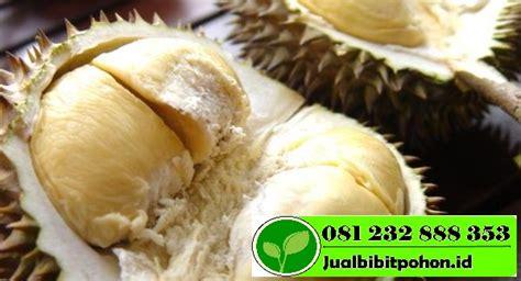 Bibit Durian Petruk jual bibit unggul durian petruk murah jual bibit pohon