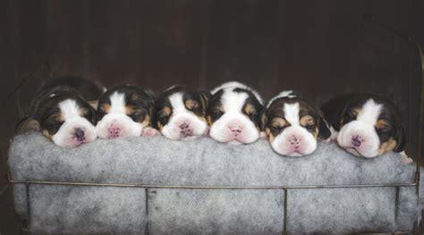 beagle puppies seattle beagle puppies 1week kazuri