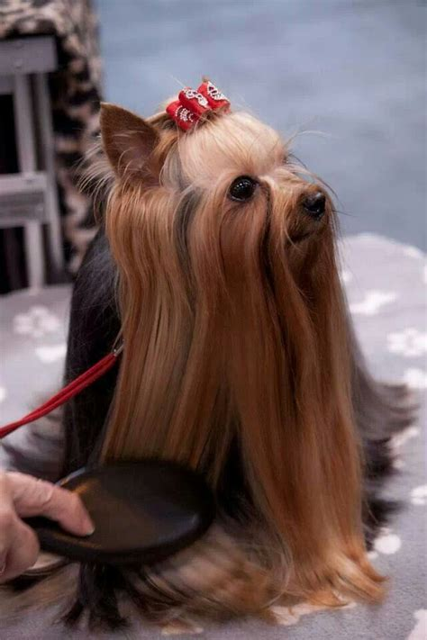 beautiful yorkies 17 best images about yorkies on terrier poodles and yorkie