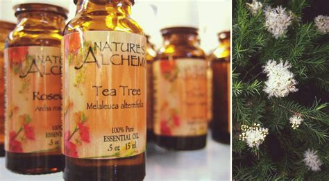 tea tree oil safe treatment for lice tea tree oil for lice prevention vs treatment