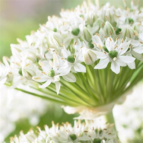 longfield gardens allium mount everest bulbs 5 pack