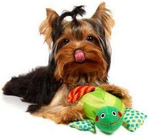 yorkie teeth falling out yorkie with yorkies and stuff health toys and yorkie