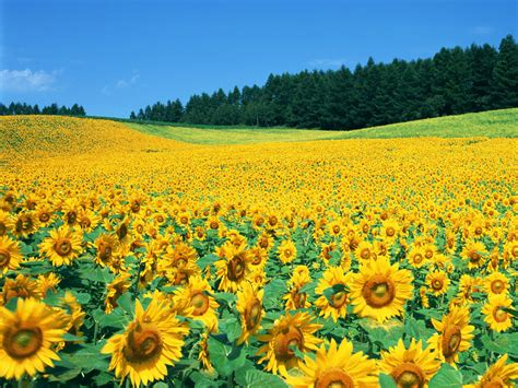 sunflower field sweet little things beautiful sunflower
