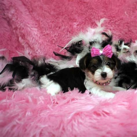 parti yorkie grown 10 best images about parti yorkies on other yorkie for sale and yorkie