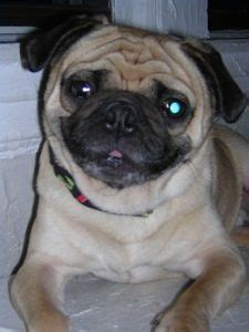 pug skin rash 17 best images about join the pugs articles on a pug skin rash and pets