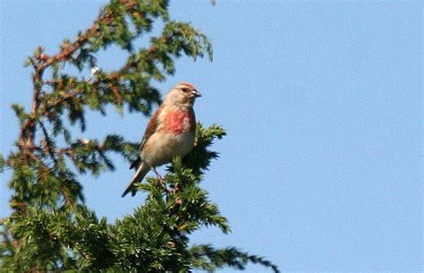 fuglevennskap dagens fugl nr  tornirisk