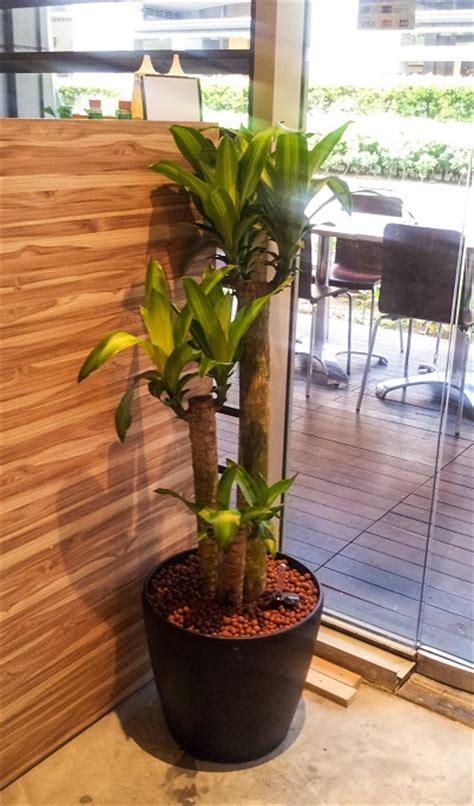 indoor plants singapore skyland gardening 187 office indoor plants