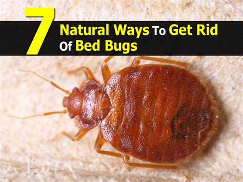 removing bed bugs 7 natural ways to get rid of bed bugs