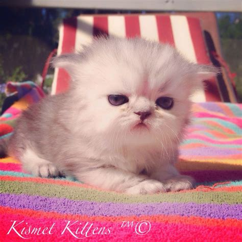 Saleeee New Ready 409 1 159 best images about teacup kittens for sale on kittens
