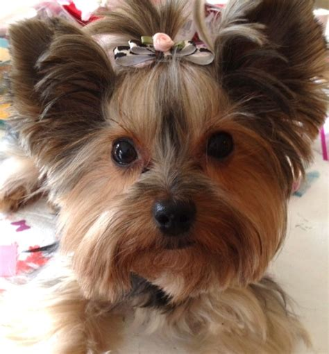 yorkie puppies with bows animal print with light pink flower doggie bow from kute creations 183 storenvy
