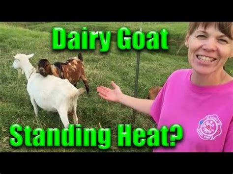 how to tell if your is in heat how to give a goat an injection funnydog tv