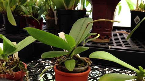 quot how to care for orchids quot rebloom a phalaenopsis orchid on an old spike mini phalaenopsis