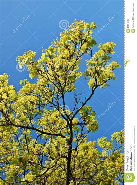 maple tree in early blooming maple tree twig in early stock photo image 40294194